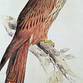 Kite by Edward Lear