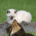 Kitten And Puppy Playing by Rolf Kopfle