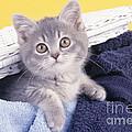 Kitten In Laundry by John Daniels