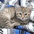 Kitten In The Blanket by Michelle Powell