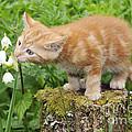 Kitten With Flowers by John Daniels