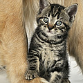 Kitten With Golden Retriever by John Daniels
