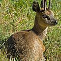 Klipspringer Antelope by Millard H. Sharp