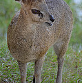 Klipspringer by Richard Bryce and Family
