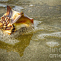 Knobbed Whelk 10 Botany Bay by Carrie Cranwill