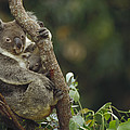 Koala And Joey In Eucalyptus Tree by Gerry Ellis