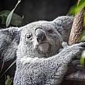 Koala Bear by Tom Mc Nemar