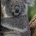 Koala by Ben Yassa