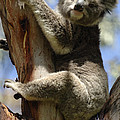 Koala by Bob Christopher