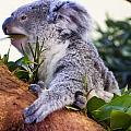 Koala Eating In A Tree by Chris Flees