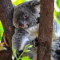 Koala by Harry Spitz