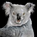 Koala by Jean Cormier