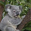 Koala Joey Australia by Suzi Eszterhas