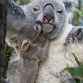 Koala Joey Exiting Pouch To Nuzzle by Suzi Eszterhas