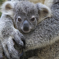 Koala Joey In Mothers Arms Australia by Suzi Eszterhas