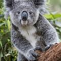 Koala Joey Nsw Australia by Suzi Eszterhas