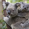 Koala Joey On Mothers Back Australia by Suzi Eszterhas