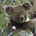 Koala Male In Eucalyptus Australia by Gerry Ellis
