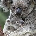 Koala Mother Holding Joey Australia by Suzi Eszterhas