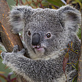 Koala by San Diego Zoo