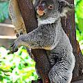 Koala Up A Tree by Harry Spitz