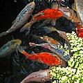 Koi Fish I by Elizabeth Hoskinson
