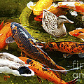 Koi Fish In Pond Swimming With Two Mallard Ducks by Jerry Cowart