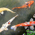 Koi Fish by Karen Adams