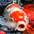 Koi Kisses by HH Photography of Florida