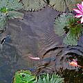 Koi. Lotus. Phu Quoc. Vietnam. by Andy Za