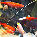 Koi Pond The Symbol Of Love And Friendship by Artist and Photographer Laura Wrede
