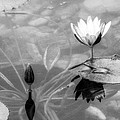 Koi Pond With Lily Pad Flower And Bud Black And White by Sally Rockefeller