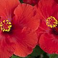 Kokio Ulaula - Tropical Red Hibiscus by Sharon Mau