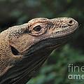 Komodo-7399 by Gary Gingrich Galleries