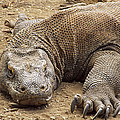 Komodo Dragon Male Basking Komodo Island by Tui De Roy