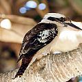 Kookaburra by Tim Hester