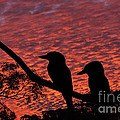 Kookaburras At Sunset by Sheila Smart Fine Art Photography