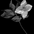 Kousa Dogwood In Black And White by Sharon Talson
