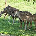 Kudu Antelope In A Straight Line by Chris Flees