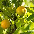 Kumquats by Steven Ralser