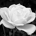 La Rosa In Black And White by Randal Higby