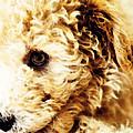 Labradoodle Dog Art - Sharon Cummings by Sharon Cummings