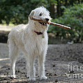 Labradoodle Holding Stick by John Daniels