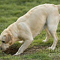Labrador Checking Hole by Jean-Michel Labat