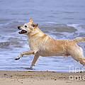 Labrador Cross Dog Running by Geoff du Feu