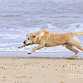 Labrador Dog Chasing Ball On Beach by Geoff du Feu