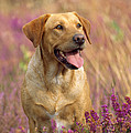 Labrador Dog by John Daniels