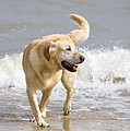 Labrador Dog Playing On Beach by Geoff du Feu