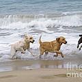 Labrador Dogs Running by Jean-Paul Ferrero