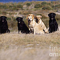Labrador Dogs Waiting For Orders by Chris Harvey